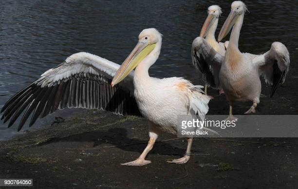 Pelicans in St James's Park on March 08 2018 in London England One of the Pelicans has lost a wing beleived by a dog attack last year and is doing...