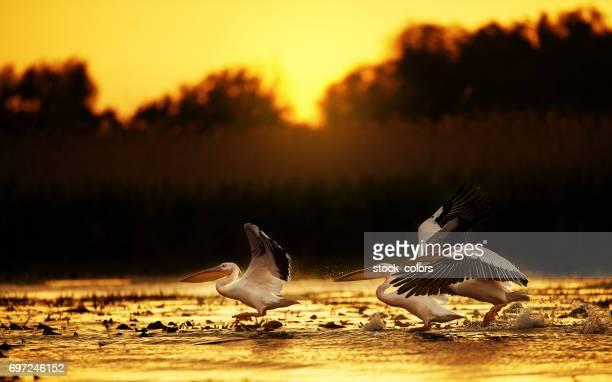Pelikane in den Sonnenuntergang