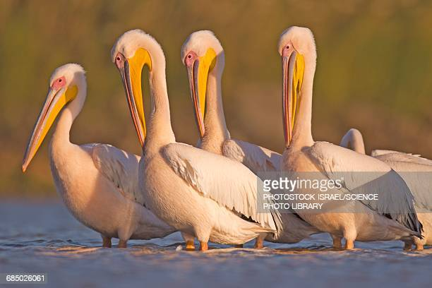 pelicans in the water - photostock stock pictures, royalty-free photos & images