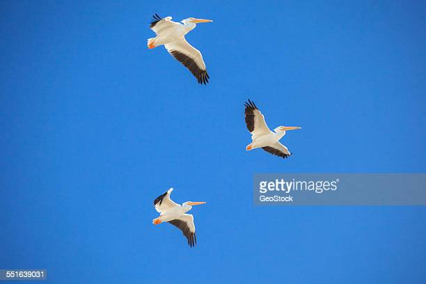 Pelicans in-flight over the Salton Sea