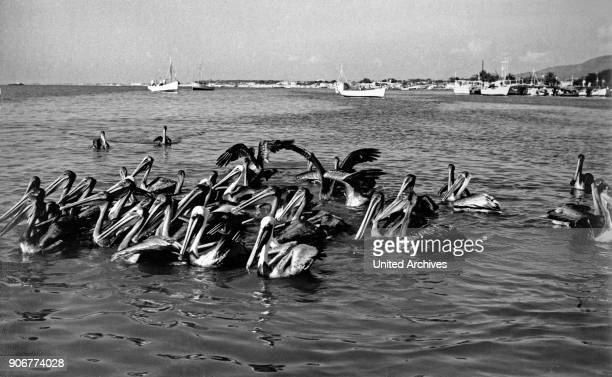 Pelicans near Parlamar at Isla Margarita, Venezuela 1970s.