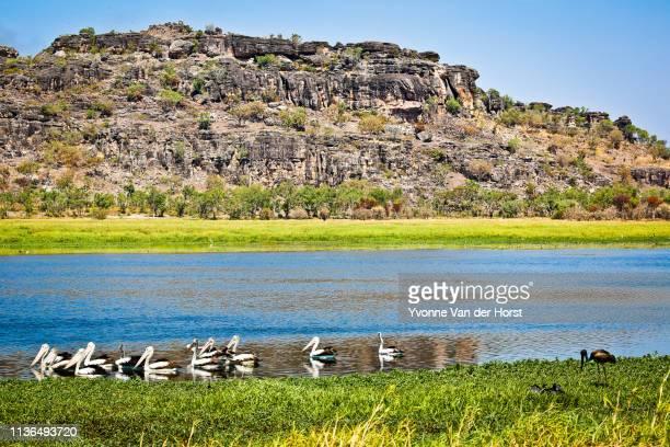 pelicans on a billabong - territorio del norte fotografías e imágenes de stock