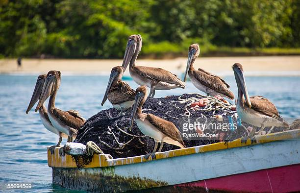 Pelicans on a fisherboat at pigeon point on October 21 2012 in Scarborough Trinidad And Tobago