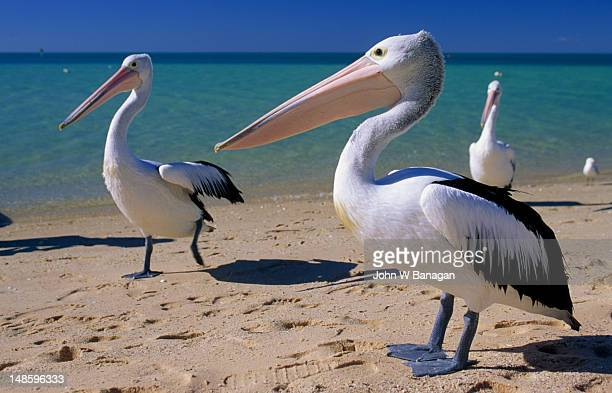 Pelicans on beach.