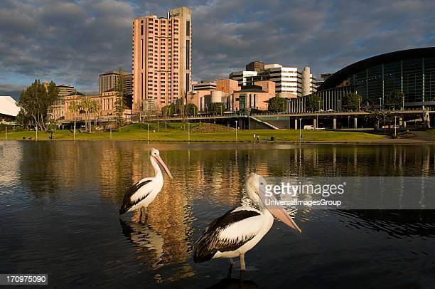 Pelicans on pontoon Torrens River Adelaide South Australia SA Australia