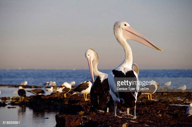 Pelicans On Rocks At Sea Against Clear Sky