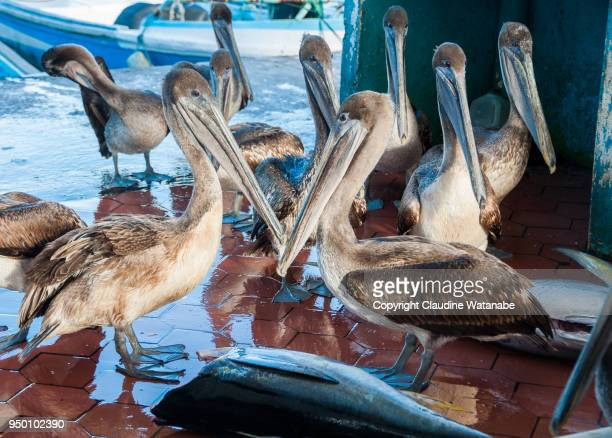 pelicans on the fish market - puerto ayora stock pictures, royalty-free photos & images