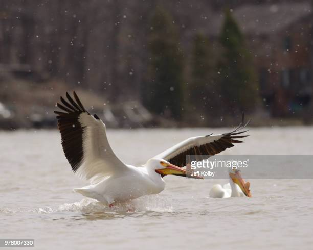 pelicans on tichigan lake, wisconsin, usa - iowa_county,_wisconsin stock pictures, royalty-free photos & images