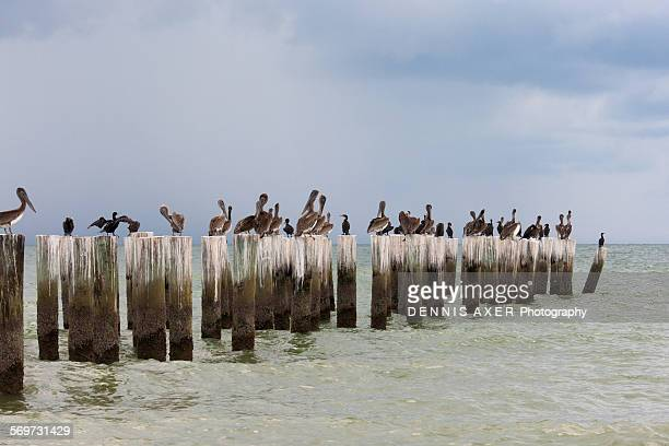 Pelicans on wooden pilings