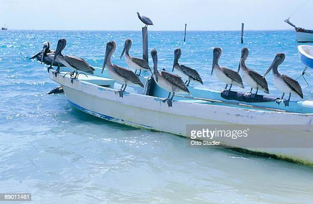 pelicans perched on boat in caribbean sea - isla mujeres ストックフォトと画像