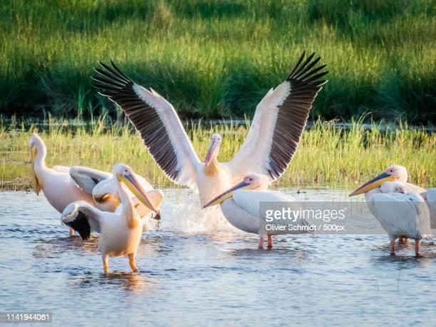 pelicans - rumänien stock photos and pictures