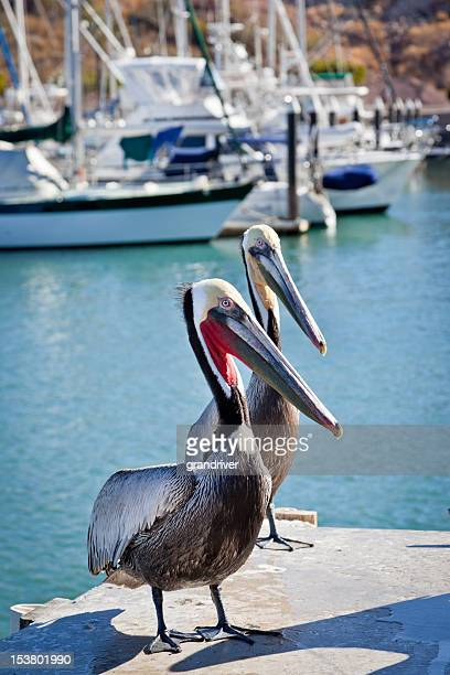 pelicans - texas gulf coast stock photos and pictures