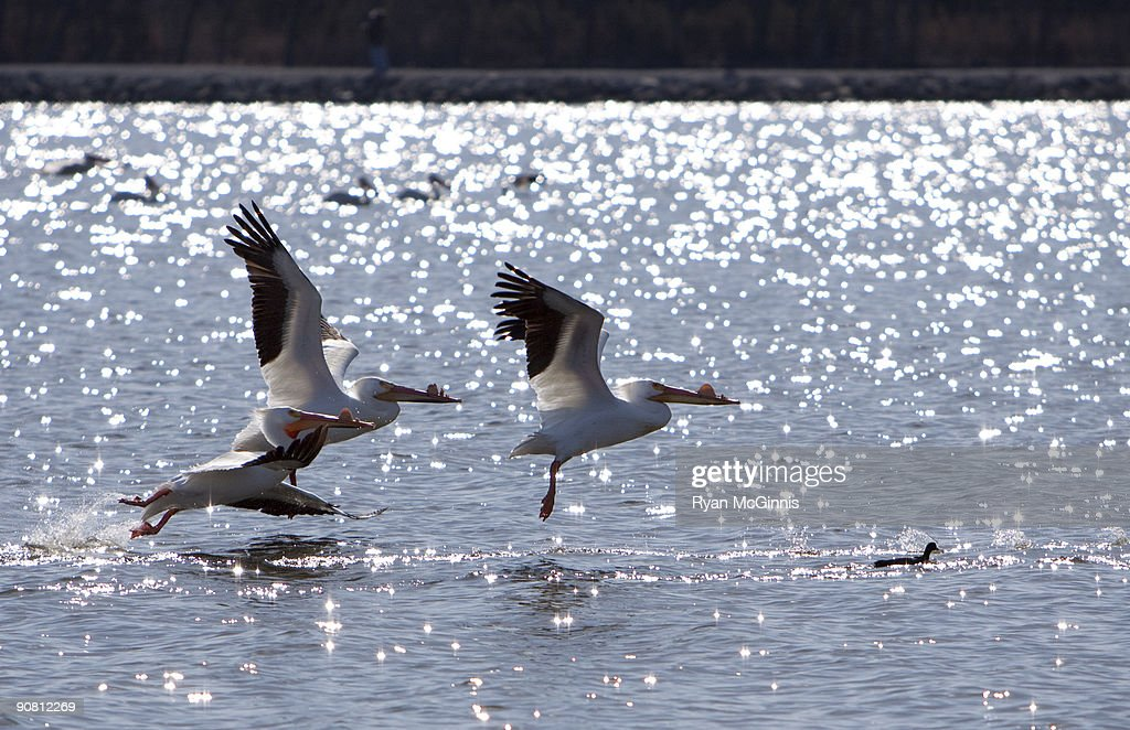 Pelicans : Stock Photo