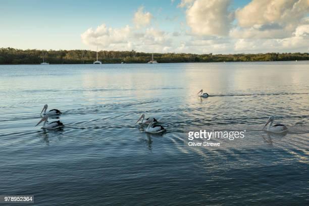 pelicans - süßwasser stock-fotos und bilder