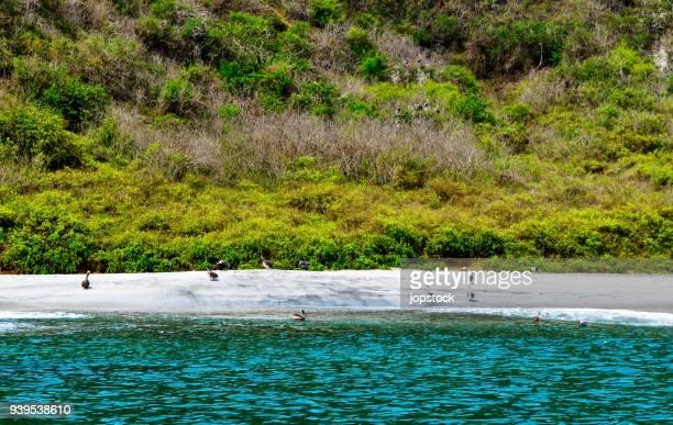pelicans rest in the coast of puerto lopez, ecuador - ecuador fotografías e imágenes de stock