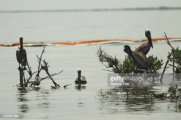 Pelicans rest near an oil slick boom off Bird Island Two June 14 2010 in Grand Isle Louisiana According to the US Fish and Wildlife Service some 1282...