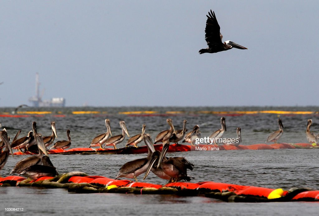 Pelicans rest on oil retention boom on July 25, 2010 near Grand Isle, Louisiana. BP CEO Tony Hayward will reportedly be replaced after numerous mistakes handling the Gulf of Mexico spill.