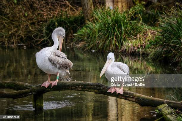 Pelicans Sitting On Tree Trunk