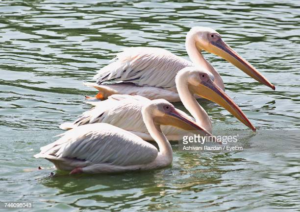 pelicans swimming in lake - freshwater bird stock photos and pictures