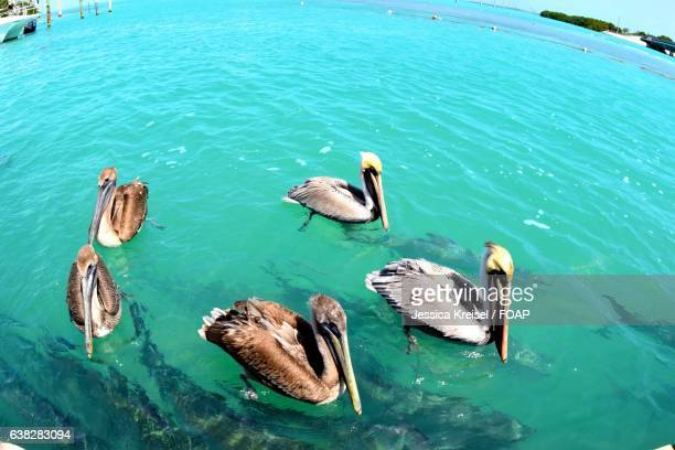 pelicans swimming on sea - freshwater bird stock photos and pictures