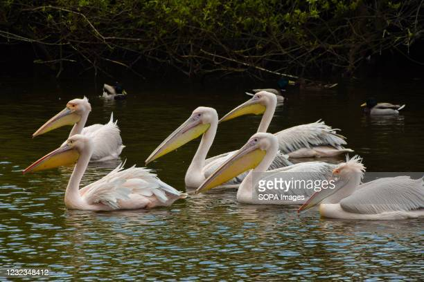 Pelicans wait to be fed by a park staff member in St James's Park, London. Six great white pelicans, free to come and go as they please, live in the...