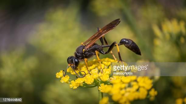 pellope mason, (sceliphron caementarium), black and yellow mud dauber, fennel. - mud dauber wasp stock pictures, royalty-free photos & images