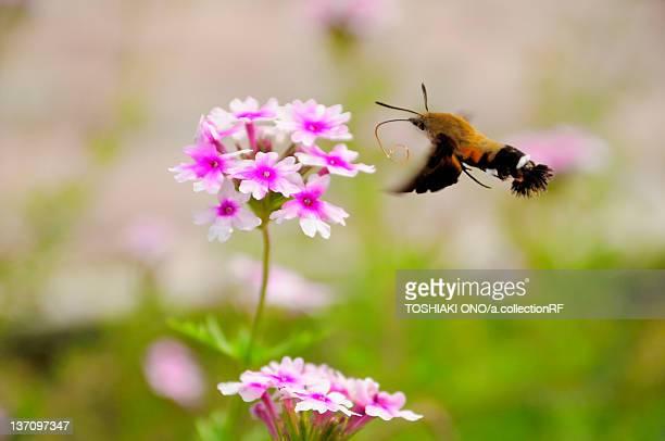Pellucid Hawk Moth (Cephonodes hylas), Chiba Prefecture, Japan