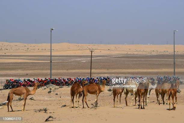 Peloton / Landscape / Desert / Camel / during the 6th UAE Tour 2020, Stage 3 a 184km stage from Al Qudra Cycle Track to Jebel Hafeet 1032m / #UCIWT /...