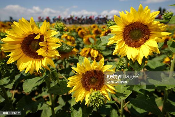Peloton / Landscape / Sunflowers / during the 105th Tour de France 2018 Stage 14 a 188km stage from SaintPaulTroisChateaux to Mende 1030m / TDF / on...