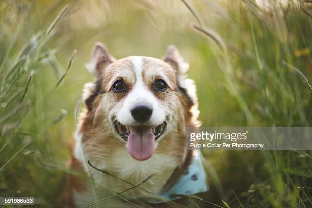 Pembroke welsh corgi dog close-up outdoors