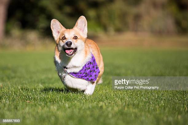 pembroke welsh corgi dog running outdoors - one animal stock pictures, royalty-free photos & images