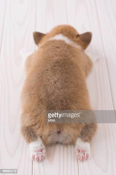 Pembroke welsh corgi lying down