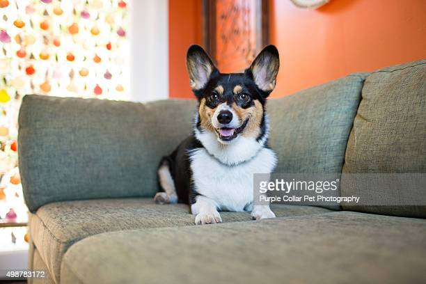 Pembroke welsh corgi on couch indoors