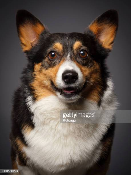pembroke welsh corgi - seeing eye dog stock photos and pictures