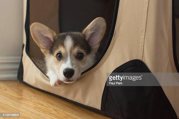 Pembroke Welsh Corgi Puppy in Crate