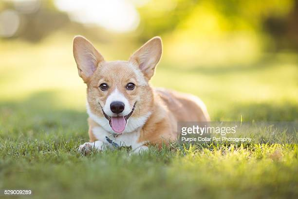 Pembroke Welsh corgi puppy resting in Grass