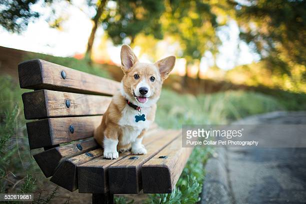 pembroke welsh corgi puppy sitting on bench - collar stock pictures, royalty-free photos & images