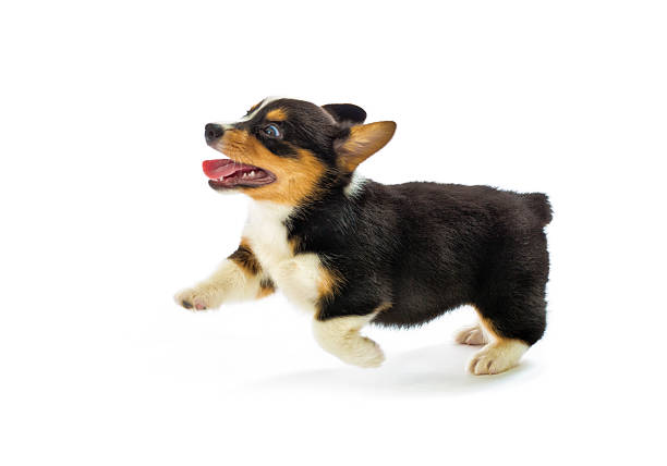 Free dog white background images pictures and royalty free stock pembroke welsh corgi purebred puppy running pose on white background voltagebd Gallery