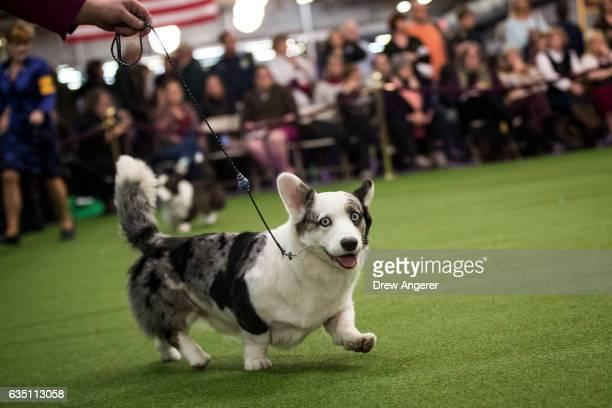 Westminster Dog Show Tri Colored Corgi