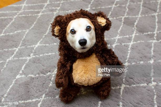 pembroke welsh corgi wearing a bear costume - pet clothing stock pictures, royalty-free photos & images