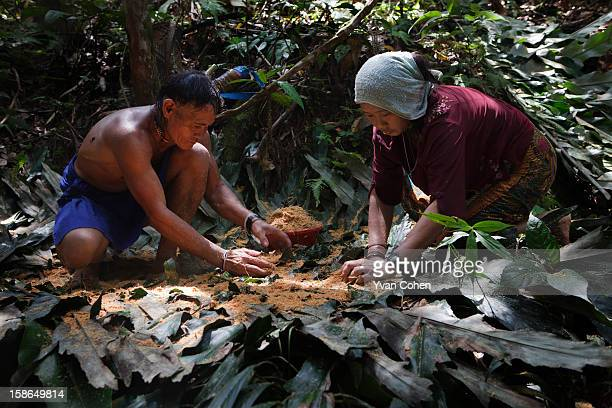 Penan tribesman Bala works alongside his wife Busak in the forest close to the village of Long Napir in Sarawak They are preparing sago gathered in...
