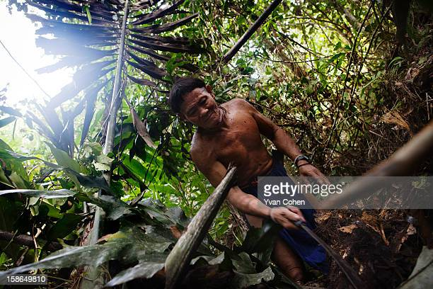 Penan tribesman Bala works in the forest close to the village of Long Napir in Sarawak He is cutting palm from which he will harvest sago using...