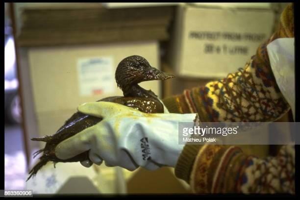 Pendine au Pays de Galles : La pollution après le naufrage du Sea Empress - Soins apportés aux oiseaux mazoutés.