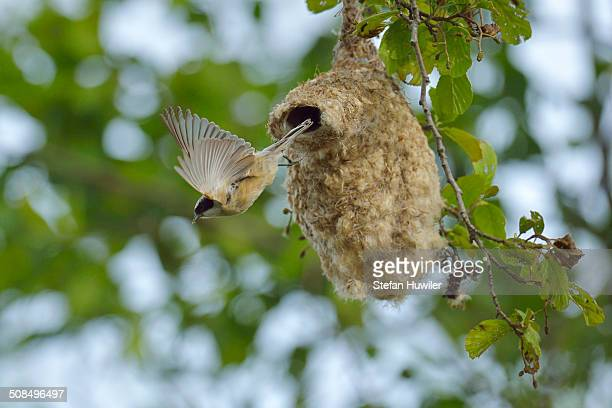 Penduline Tit -Remiz pendulinus- flying from its nest, Biebrza National Park, Poland