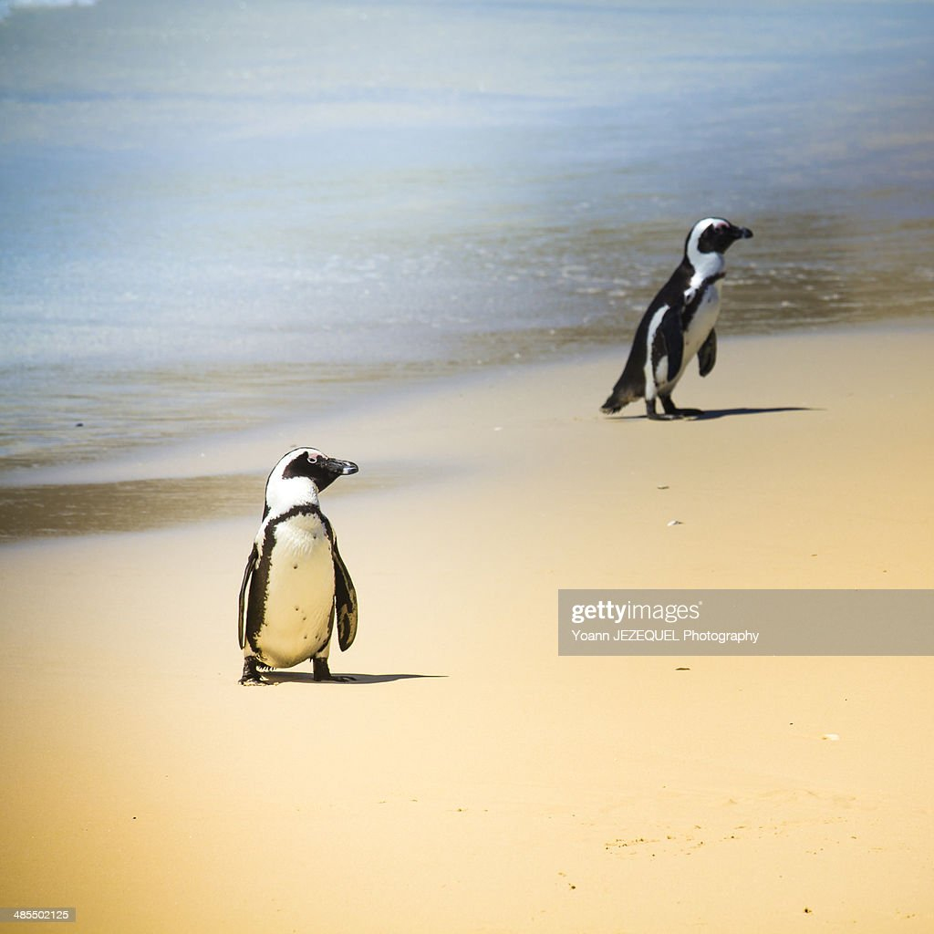 Penguin at Cape Point : Photo