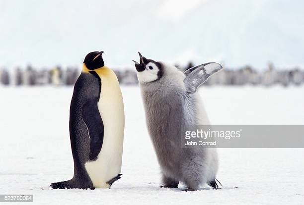 penguin chick begging for food - emperor penguin chick stock pictures, royalty-free photos & images