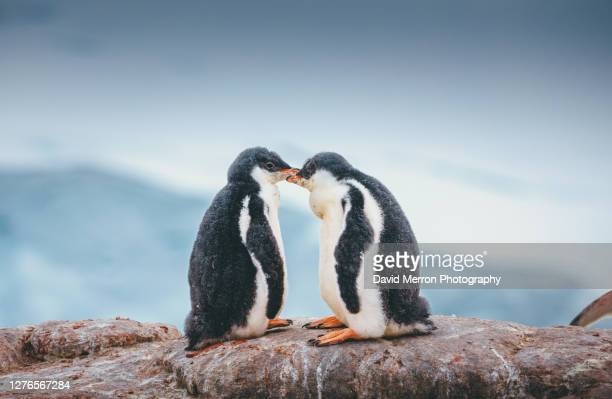 penguin chicks in antarctica - animal behaviour stock pictures, royalty-free photos & images