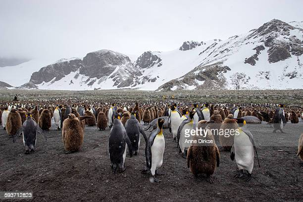 penguin colony on south georgia island - rookery stock pictures, royalty-free photos & images