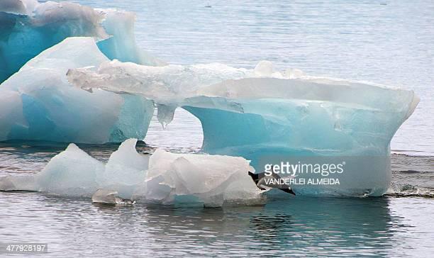 Penguin dives from an ice block in front of Brazil's Comandante Ferraz base, in Antarctica on March 10, 2014. AFP PHOTO / VANDERLEI ALMEIDA