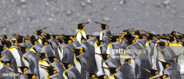 penguin face-off - koningspinguïn stockfoto's en -beelden